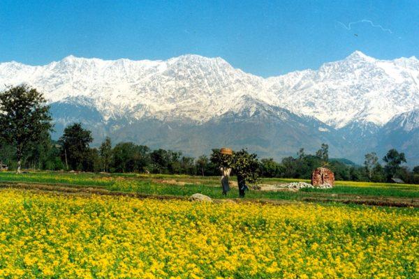 25 Kanal Land In Jia (Chamunda) Himachal